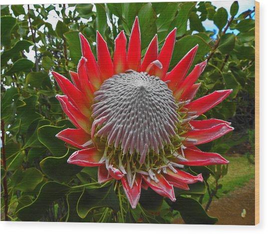 Maui King Protea I Wood Print by Elizabeth Hoskinson