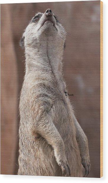 Meerkat Sentry 4 Wood Print