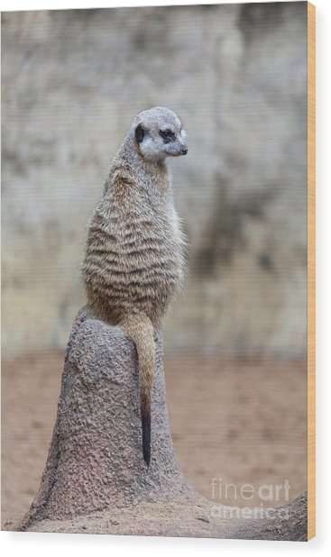 Meerkat Sitting And Looking Right Wood Print