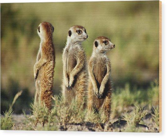 Meerkats Three Wood Print