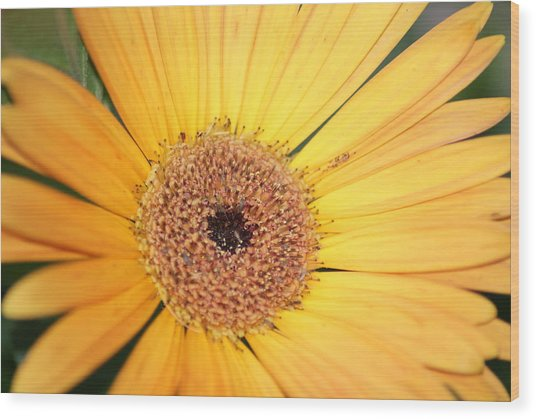 Mellow Yellow Wood Print by Ron Read