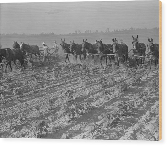 Men And Mules Cultivating Cotton Wood Print by Everett