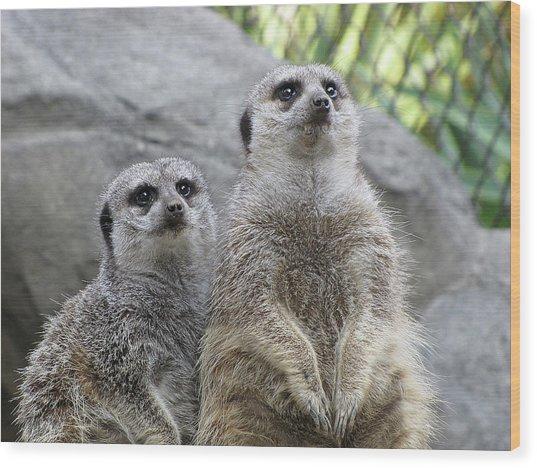 Mesmerized Meerkats Wood Print