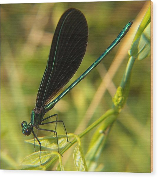 Michigan Damselfly Wood Print