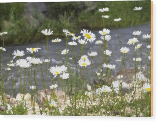 Mickelson Trail Daisies Wood Print