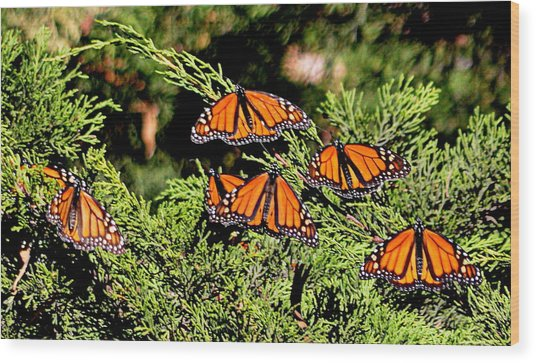 Wood Print featuring the photograph Migrating Monarchs by AJ Schibig