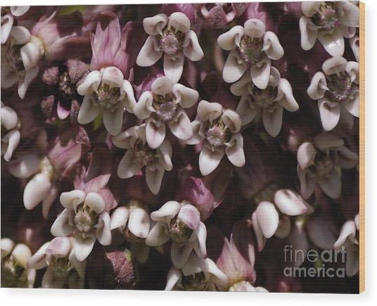Milkweed Florets Wood Print