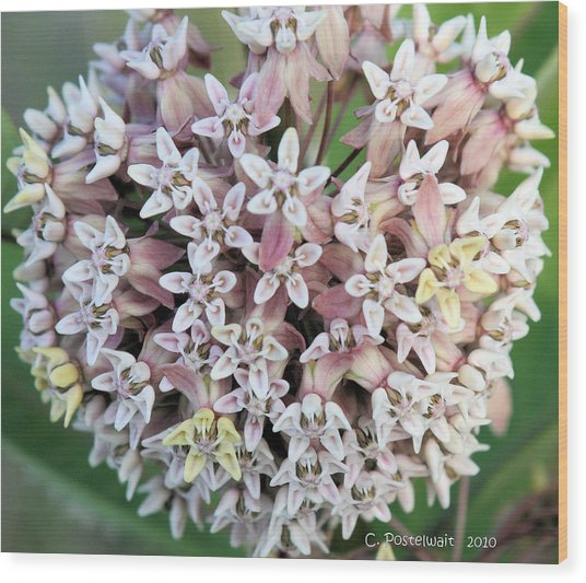 Milkweed Flower Ball Wood Print