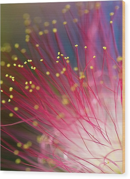 Mimosa Bloom Wood Print