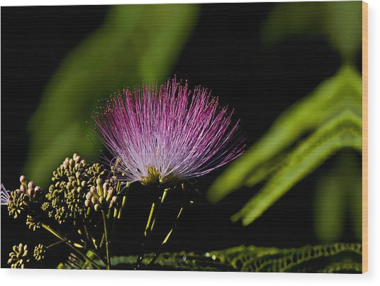 Mimosa Tree Bloom Wood Print by Michael Whitaker