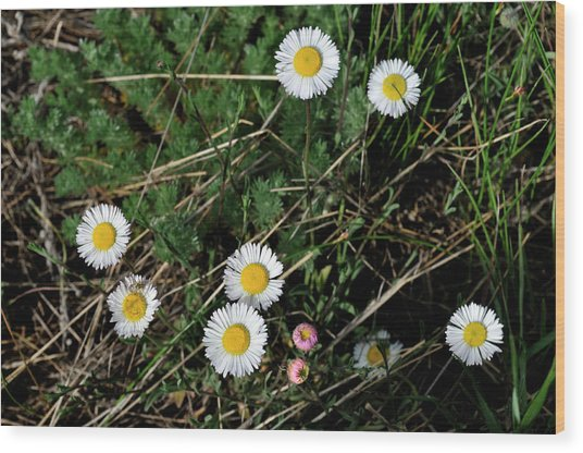 Mini Daisies Wood Print