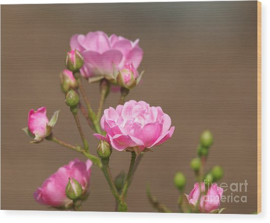 Miniature Pink Roses Wood Print by Sharon Talson