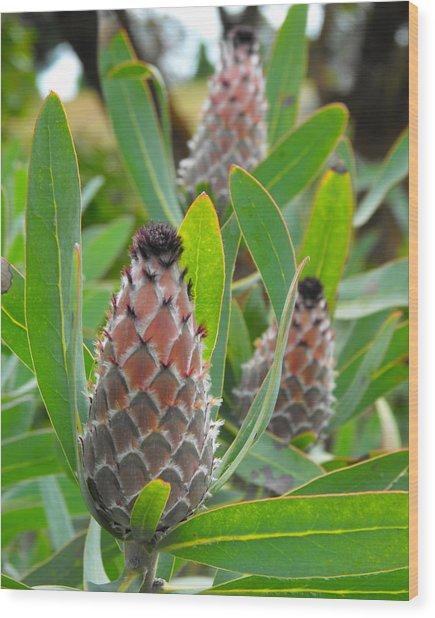 Mink Protea Flower Wood Print