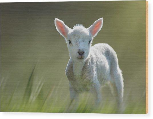 Minnie The Spring Lamb Wood Print