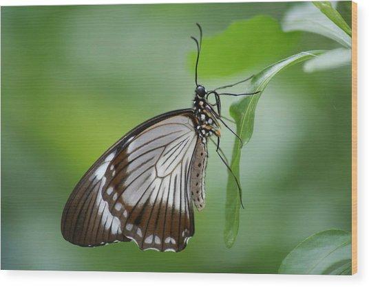 Mocker Swallowtail Wood Print by Jeff VanDyke