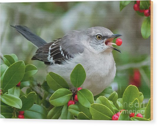 Mockingbird With Berry Wood Print by Rebecca Miller