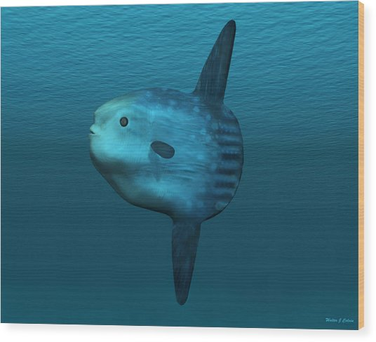 Mola Mola Ocean Sunfish Wood Print