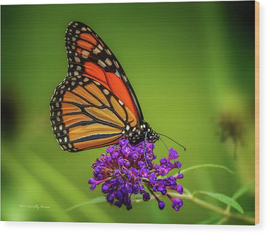 Monarch #1 Wood Print