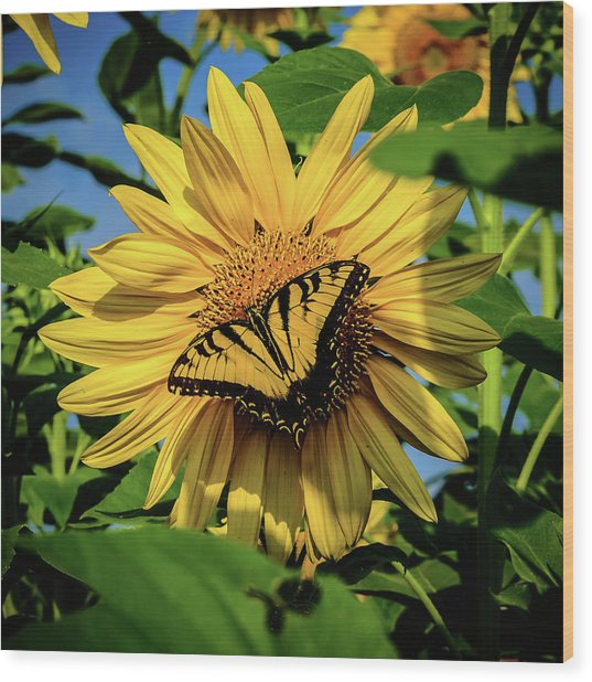 Male Eastern Tiger Swallowtail - Papilio Glaucus And Sunflower Wood Print