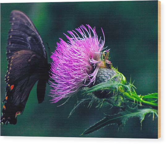 Monarch Butterfly On Milk Thistle Wood Print