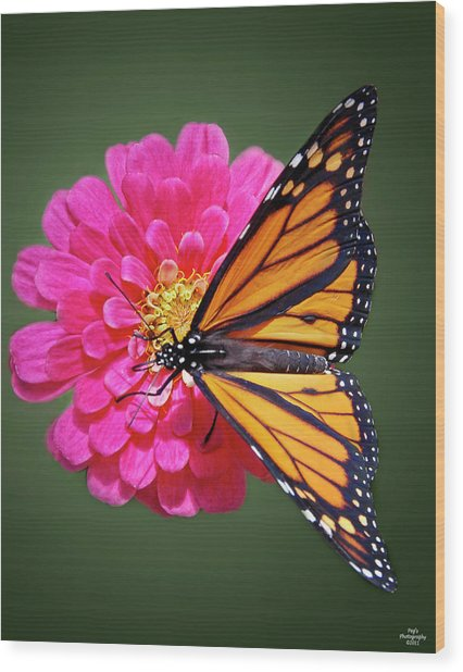 Monarch Butterfly On Pink Flower Wood Print