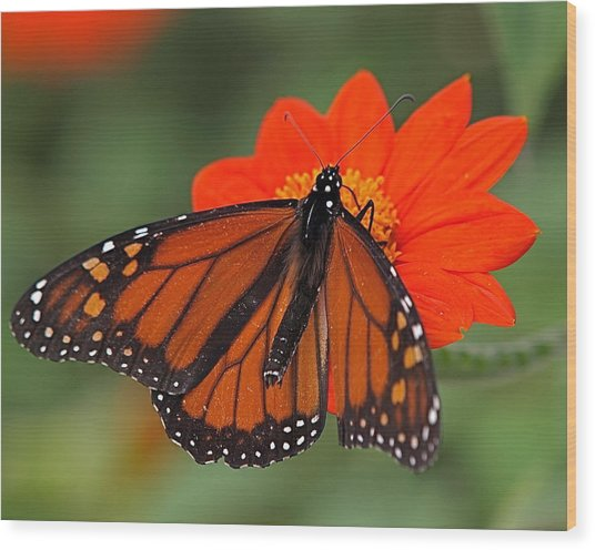 Monarch Butterfly Wood Print by Peter Gray