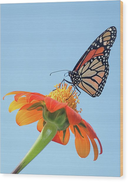 Monarch II Wood Print