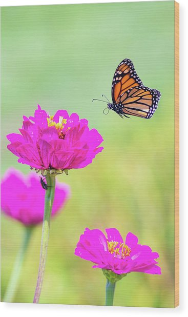 Monarch In Flight 1 Wood Print