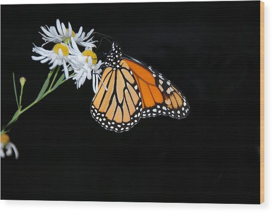 Monarch King Of Butterflies Wood Print