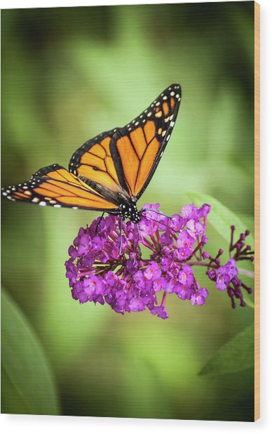Monarch Moth On Buddleias Wood Print