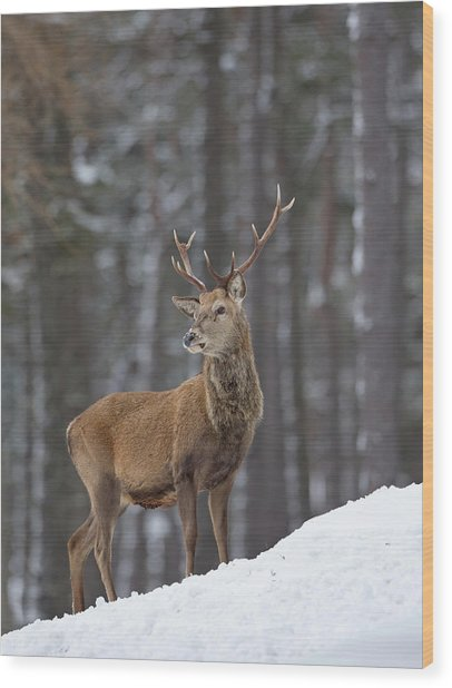 Monarch Of The Woods Wood Print