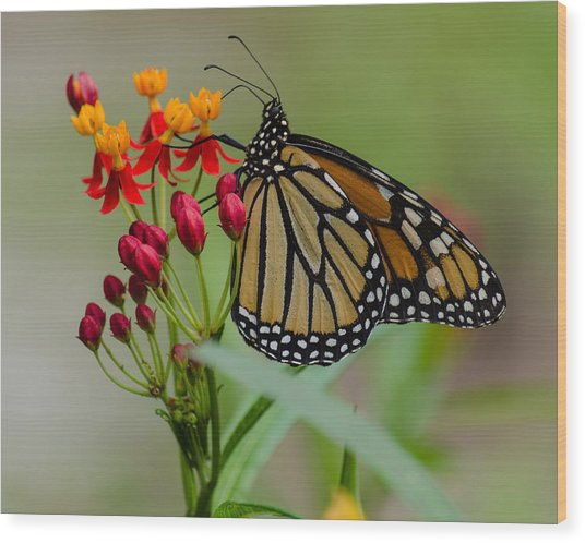 Monarch On Butterfly Weed Wood Print
