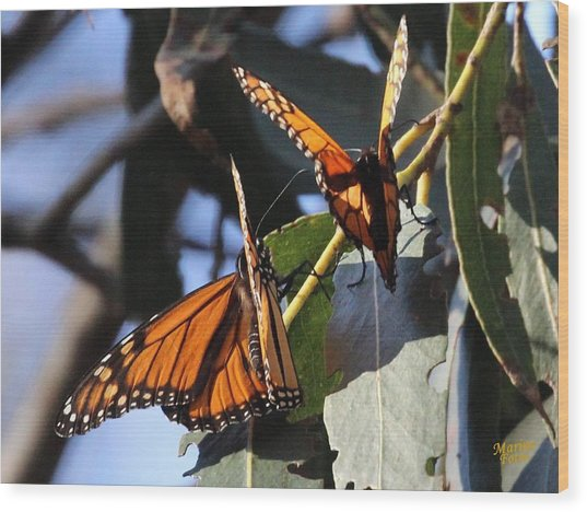 Monarch On Eucalyptus Wood Print