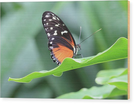 Monarch On Green Leaf Wood Print