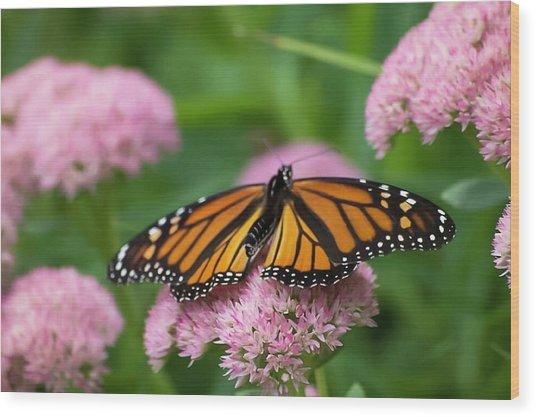 Monarch On Sedum Wood Print