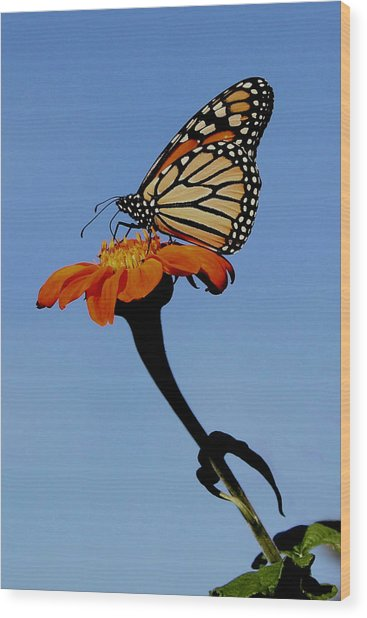 Monarch On Zinnia  Wood Print