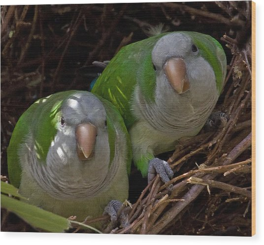 Monk Parakeet Pair Wood Print