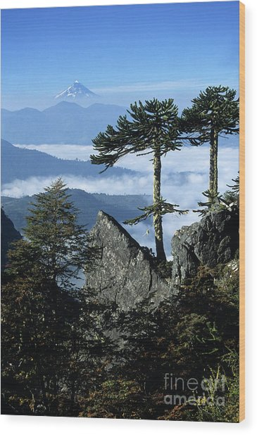 Monkey Puzzle Trees In Huerquehue National Park Wood Print