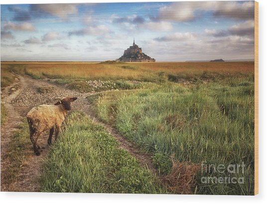 Mont Saint Michel's Sheep Wood Print