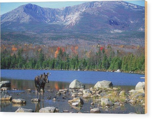 Moose And Mount Katahdin Wood Print