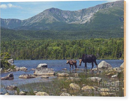 Moose Baxter State Park Maine 2 Wood Print