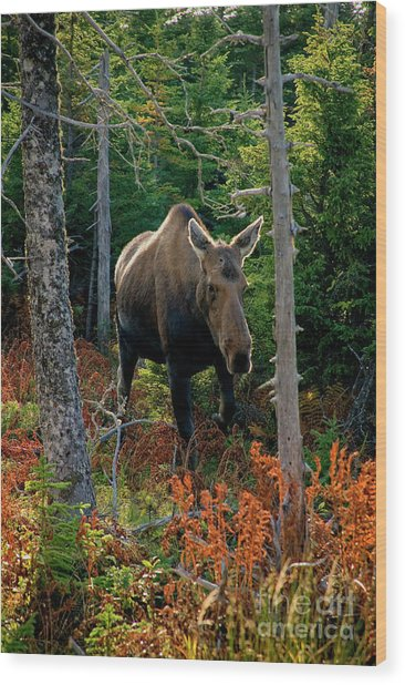 Moose In The Wild Wood Print by Scott Kemper
