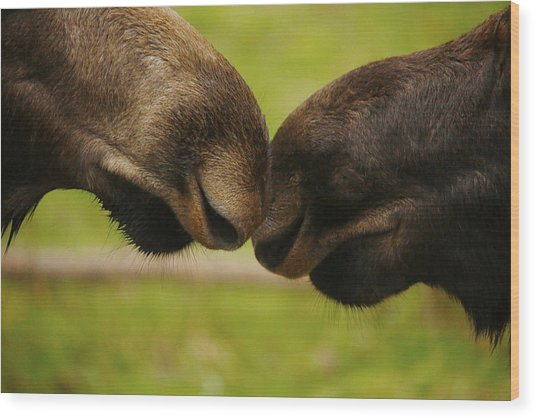 Moose Nuzzle Wood Print