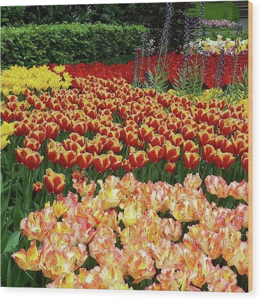 More #tulip Goodness From #keukenhof Wood Print by Dante Harker