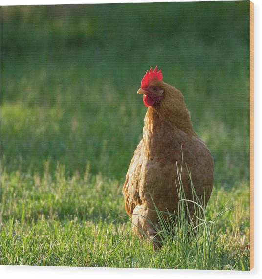 Morning Chicken Wood Print