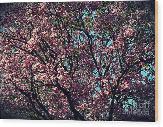 Morning Lit Magnolia Wood Print