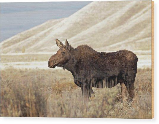 Morning Moose Wood Print