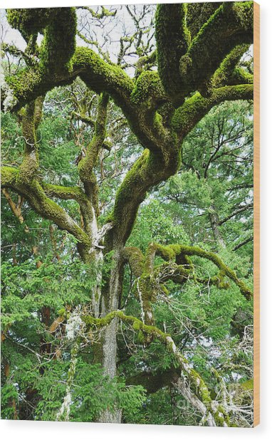 Moss Covered Arms Wood Print by JoAnn SkyWatcher