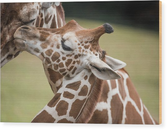 Mother And Baby Giraffes Wood Print