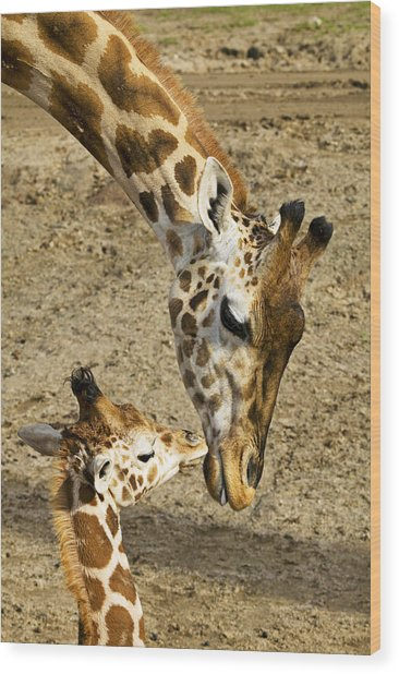 Mother Giraffe With Her Baby Wood Print